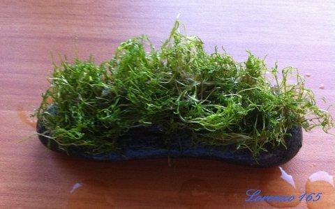 Piante epifite Riccia fluitans