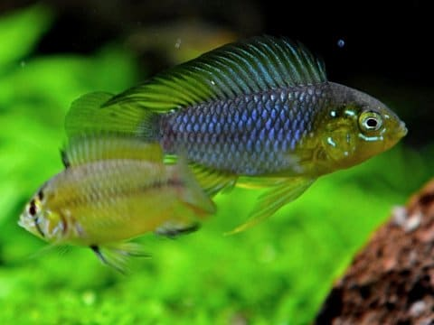 Apistogramma borellii - Male and female