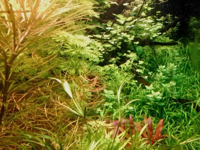 Pogostemon stellatus in primo piano a sinistra