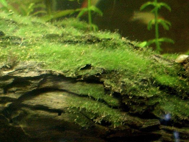 Alghe su legno