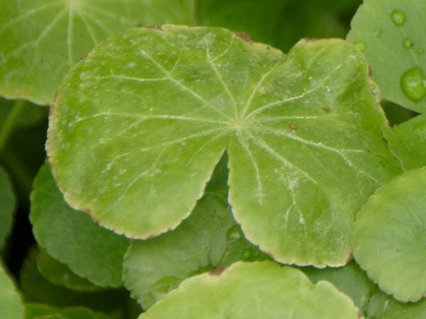 Hydrocotyle leucocephala carente di magnesio