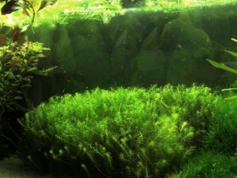 Mayaca fluviatilis Potatura