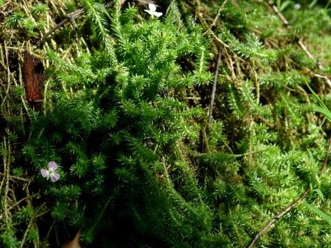 Mayaca fluviatilis emersa