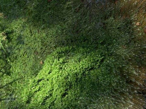Mayaca fluviatilis infestante