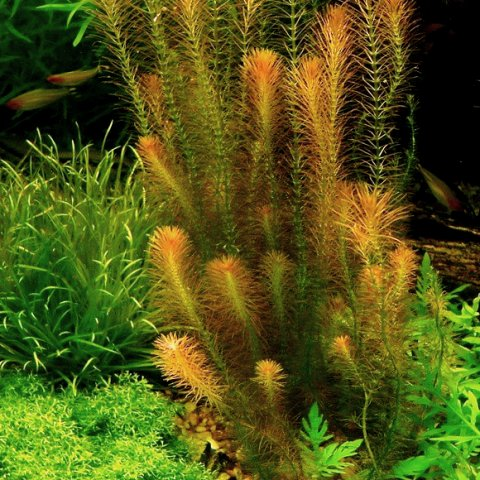Rotala wallichii in forma sommersa
