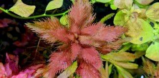 Proserpinaca palustris - Un po' di rosso in acquario