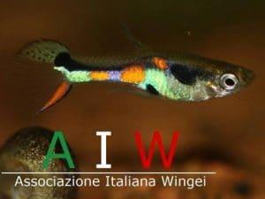 AIW - Associazione Italiana Wingei