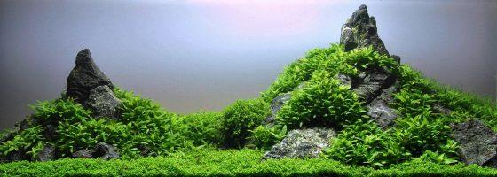 Staurogyne in acquario Iwagumi