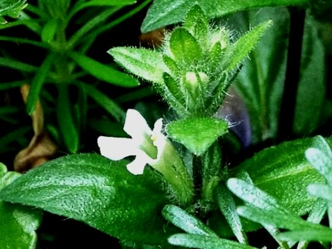 Staurogyne repens fiore