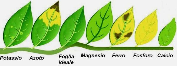 In order: potassium, nitrogen, ideal leaf, magnesium, iron, phosphorus, calcium