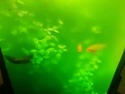 Volvox acquario
