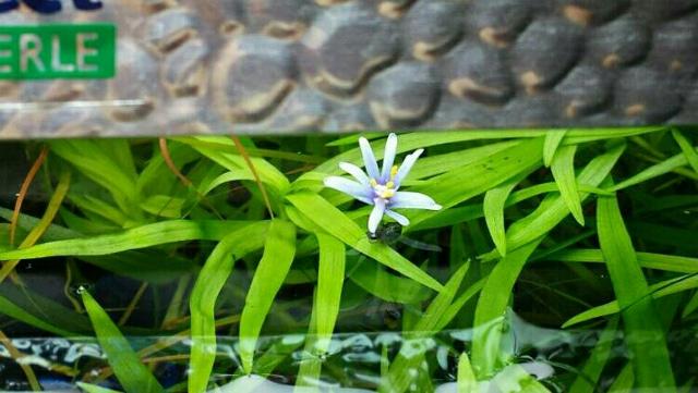 Fiore heteranthera