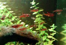 Boraras brigittae, rosso in acquario