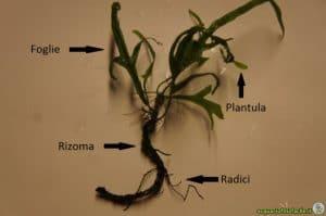 Rizoma Microsorum