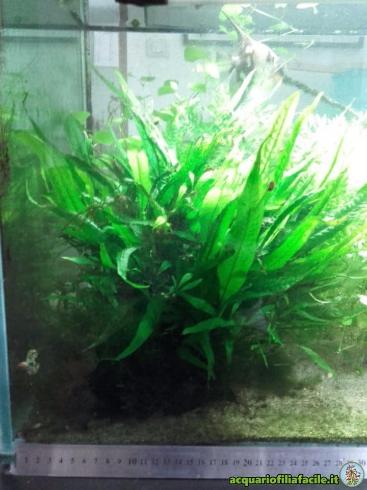 Microsorum in acquario