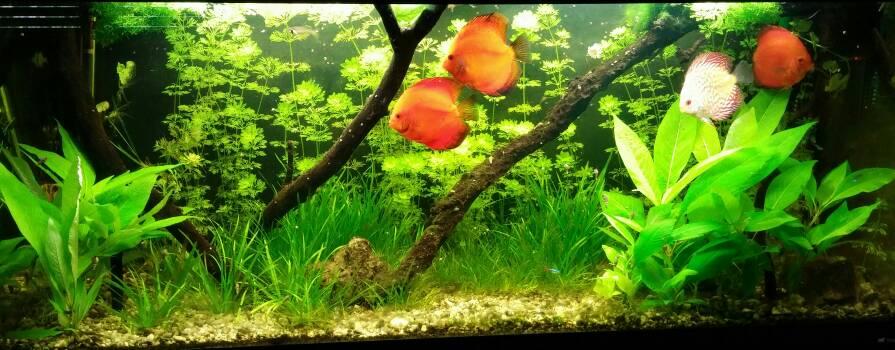 Panoramica acquario discus