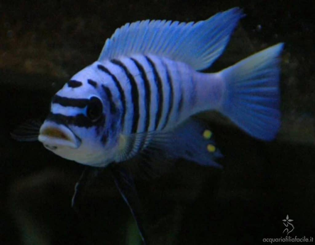 M'buna zebra chilumba meison reef maschio
