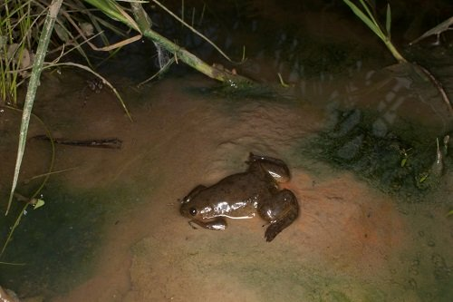 Xenopus laevis nel suo habitat