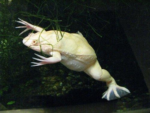 Xenopus laevis var albino