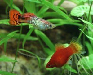 Guppy e Platy: pesci di acqua dura
