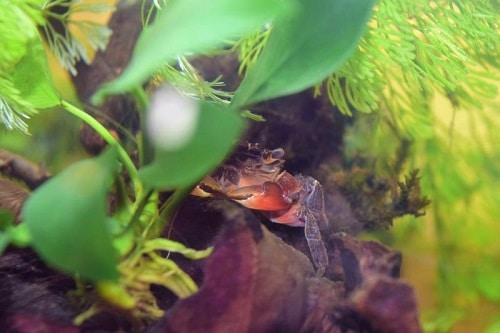 Mrs.Crab 1