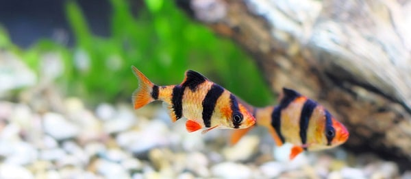 Tiger Barb Puntius tetrazona 1