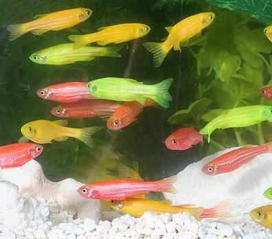 glofish 010 std2