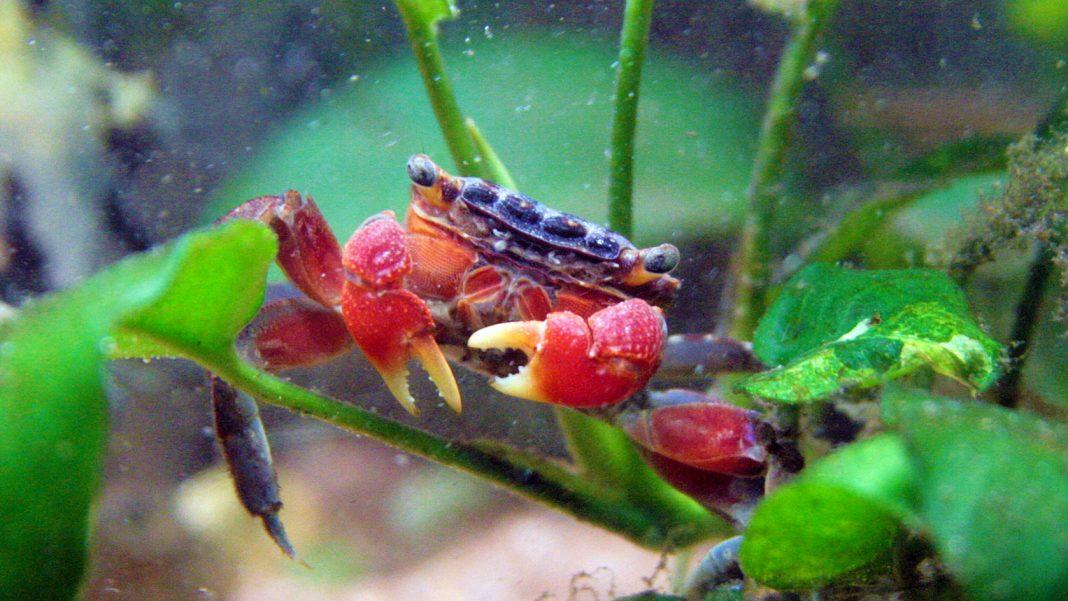 Muta del granchio sesarmide