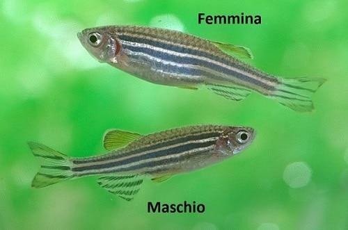 zebrafish dimorfismo