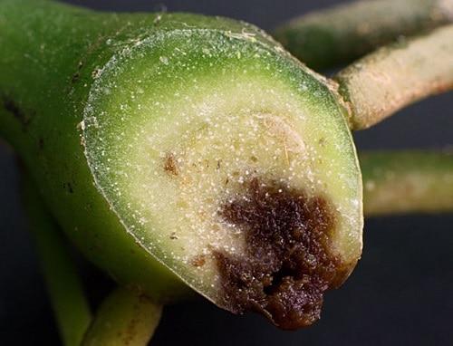 Sezione di rizoma