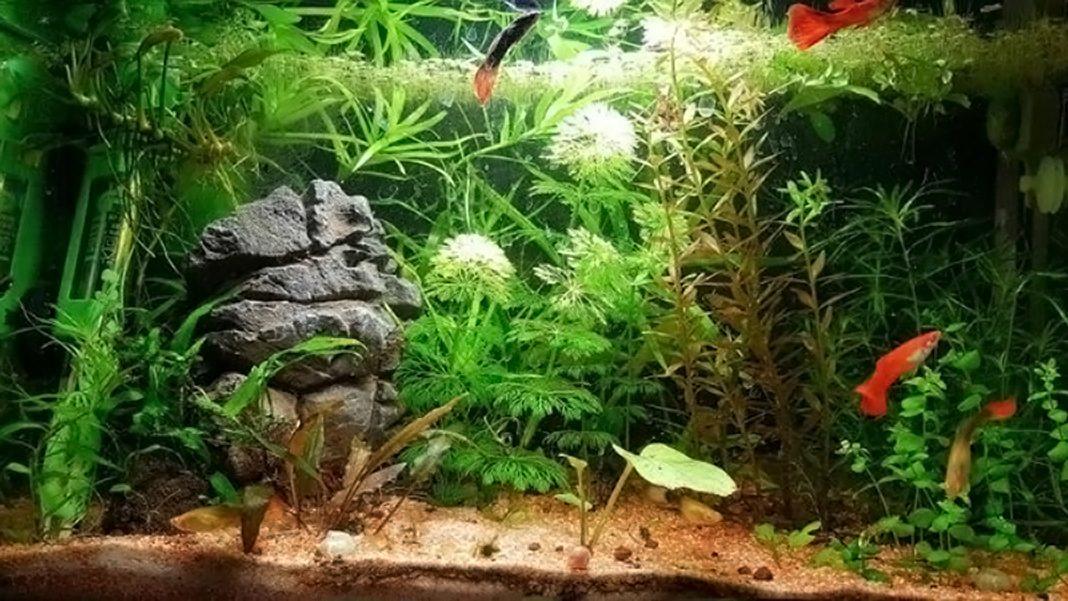 Nuovo acquario Guppy
