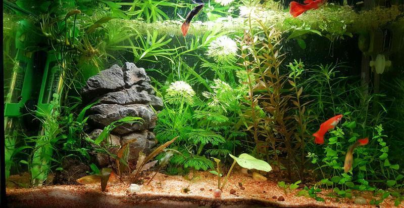 Panoramica acquario guppy