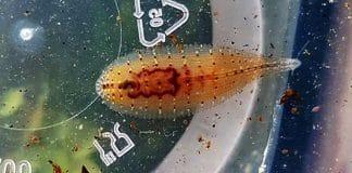 The Snail Leech - Le sanguisughe delle lumache