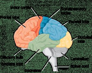 Cervello umano