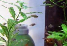 Riproduzione Mikrogeophagus ramirezi