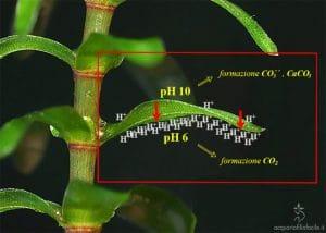 Decalcificazione biogena 2