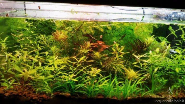 acquario di piante