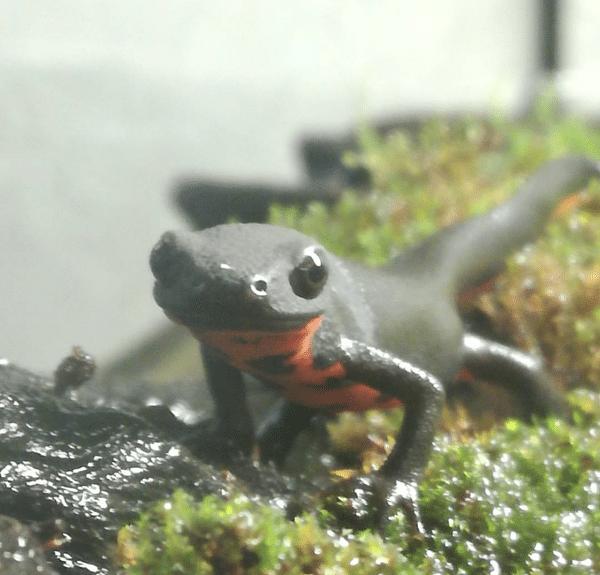 tritone hyoselotriton orientalis