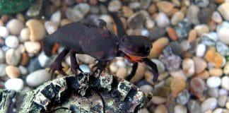 Hypselotriton orientalis: il tritone dal ventre di fuoco