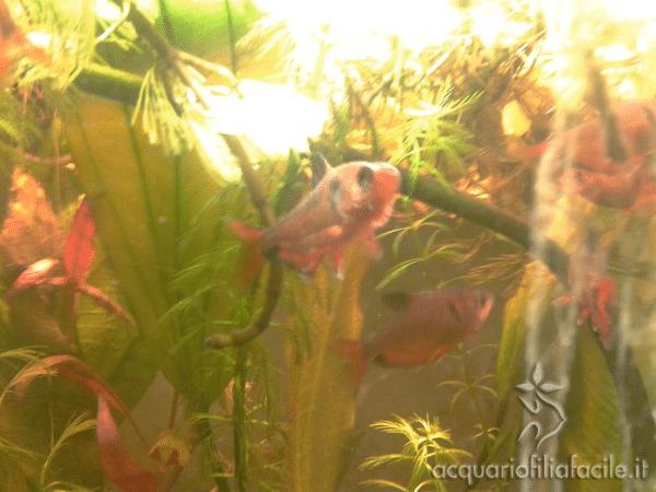 Pesci con Gyrodactylus