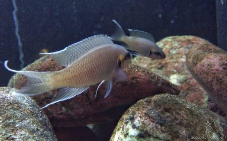 Neolamprologus brichardi riproduzione