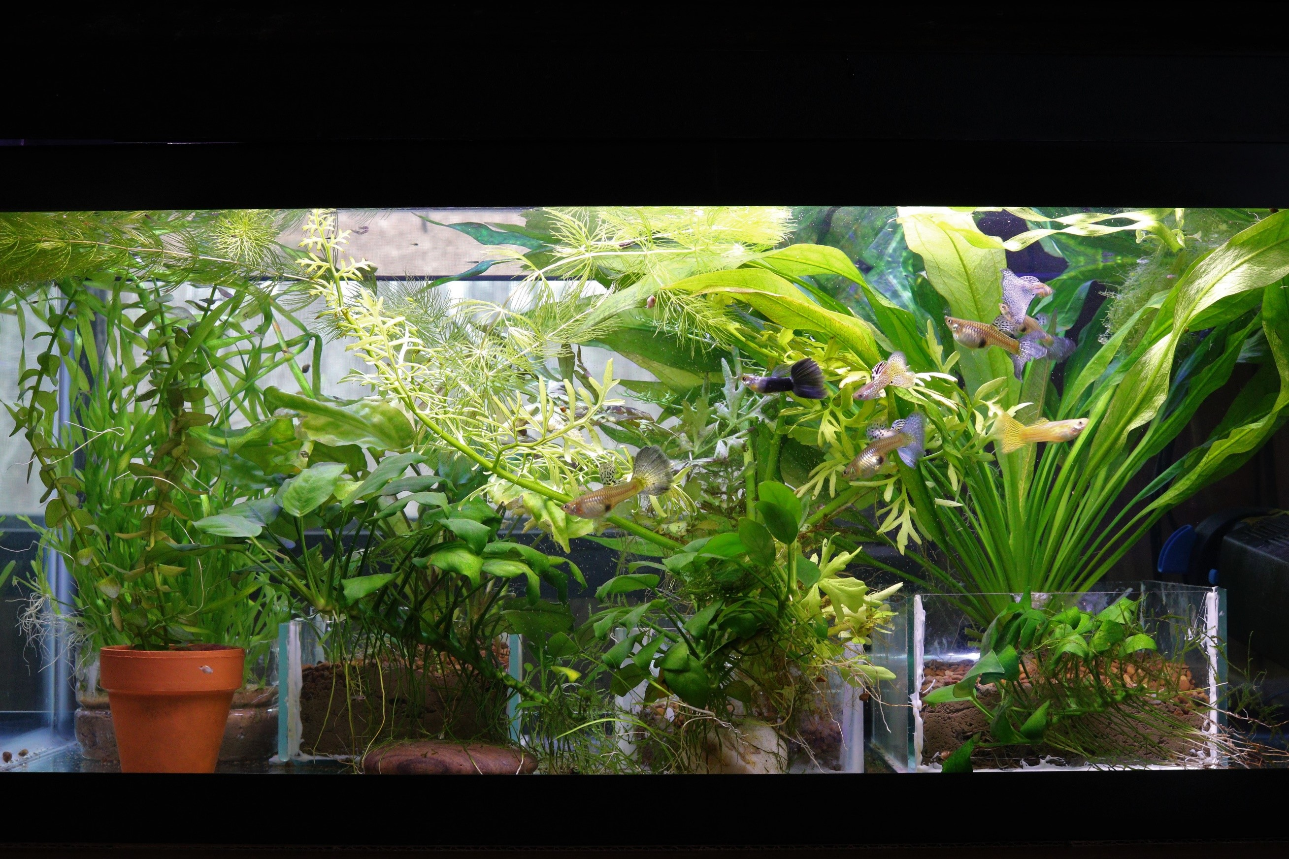 20 gal with Guppies