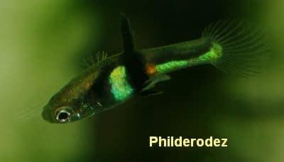 Poecilia wingei «El Tigre» full black dorsal