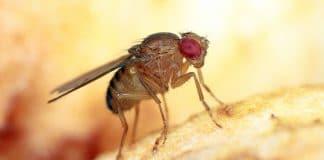 Cibo vivo: Drosophila