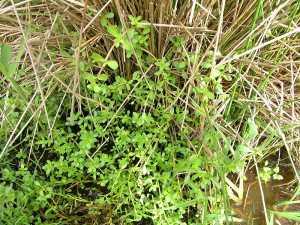 Bacopa monnieri in natura