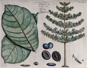 Indian almond (Terminalia catappa L.)