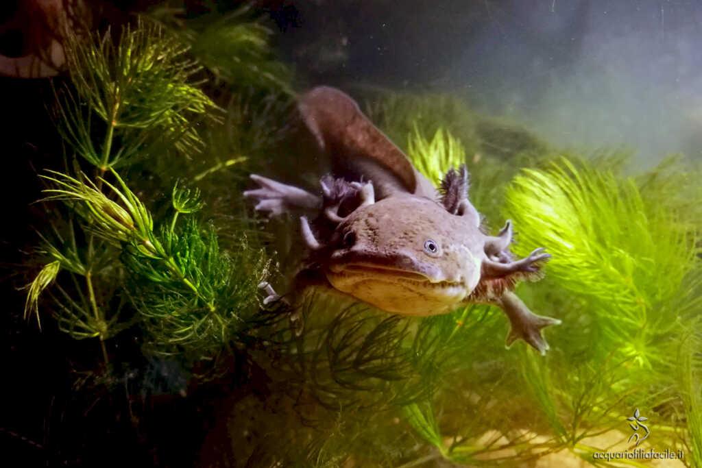 Ambystoma mexicanum - Axolotl