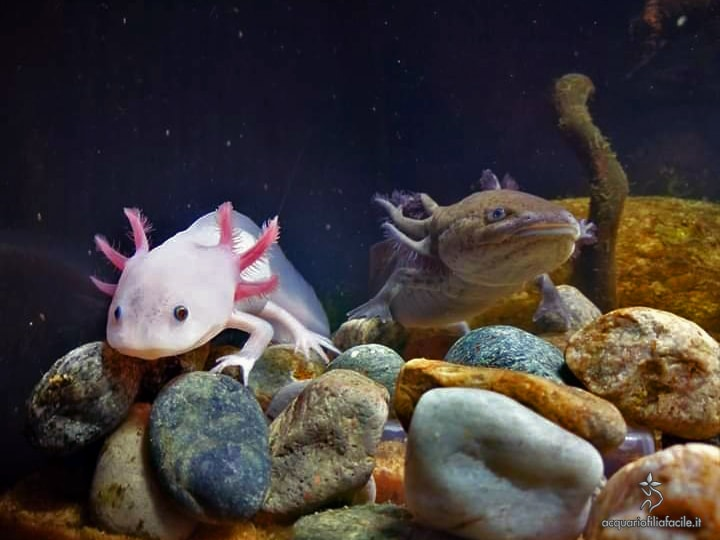 Coppia di Ambystoma mexicanum, o Axolotl