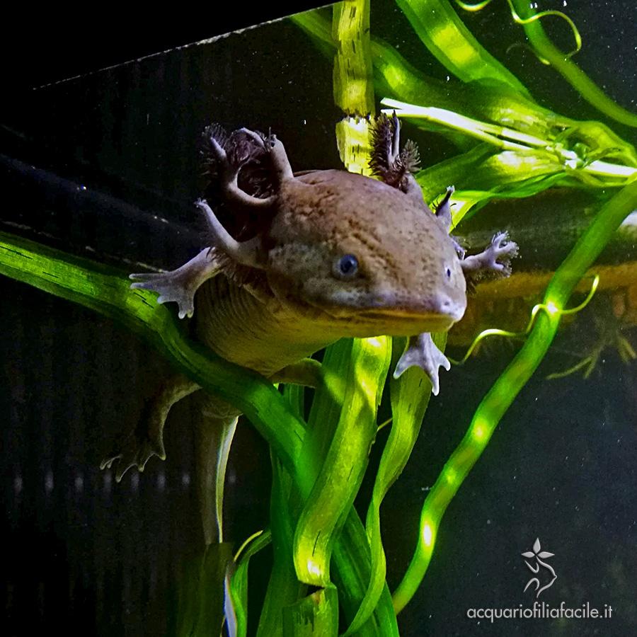 Gli aztechi veneravano gli Axolotl come se fossero degli dei