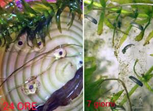 Uova e larve nella gelatina